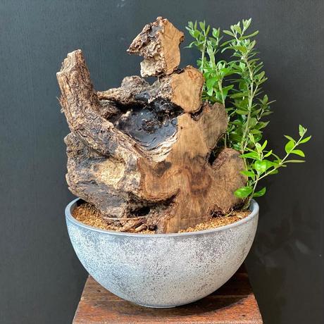 大きめな卓上古木:Picudo