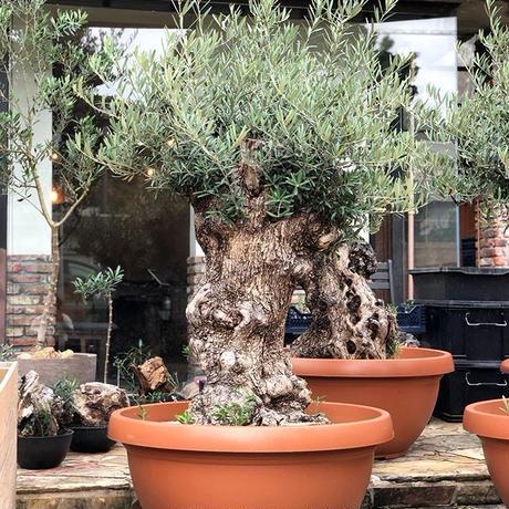 Import Old Olive no.180727-8 <Hojiblanca>