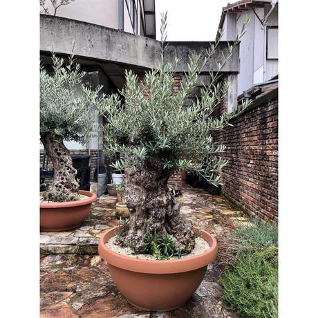 Import Old Olive no.180727-12 <Hojiblanca>