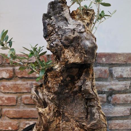 卓上盆栽サイズ オリーブ古木 no.170420-1 (経過観察中)