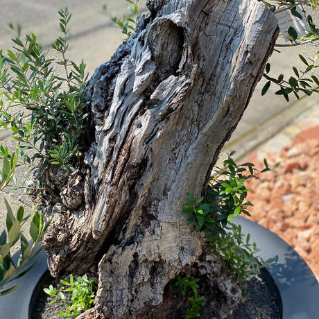 Import Olive no.2020/2/29 N4 SERRALUNGA Ming