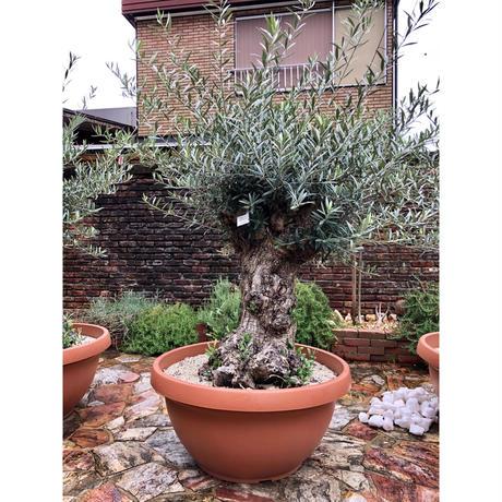 Import Old Olive no.180727-3 <Hojiblanca>