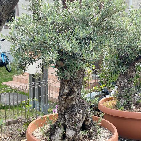 Import Old Olive no.180727-9 <Hojiblanca>