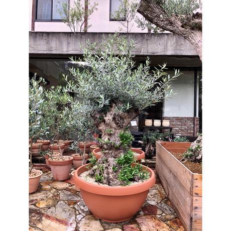 Import Old Olive no.180727-17 <Hojiblanca>
