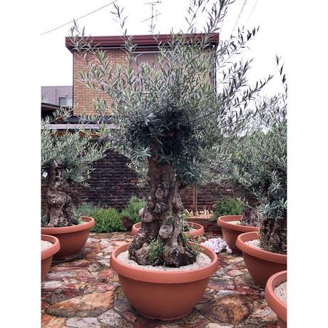 Import Old Olive no.180727-4 <Hojiblanca>