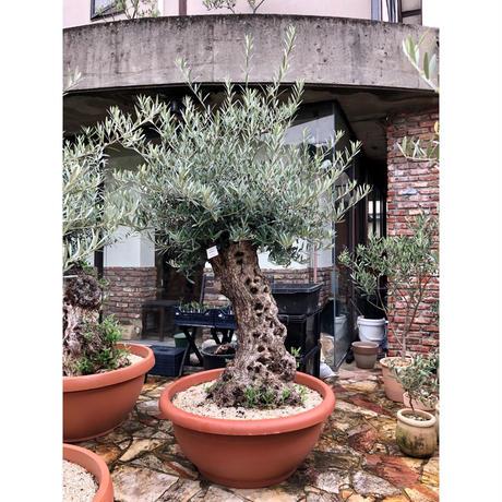 Import Old Olive no.180727-19 <Hojiblanca>