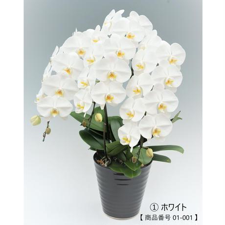 大輪胡蝶蘭 3本立て =ホワイト=