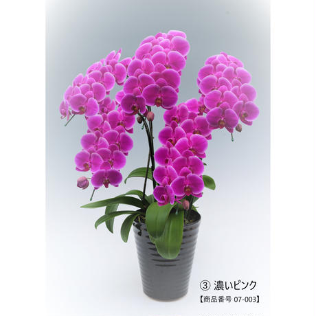 中輪ミディ胡蝶蘭5本立て=濃いピンク系=