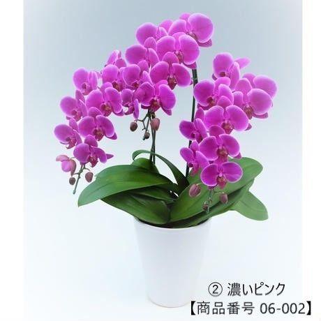 中輪ミディ胡蝶蘭 3本立て=濃いピンク=