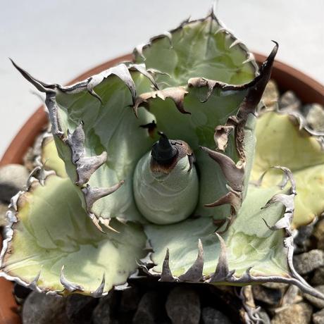 特選 Agave titanota 珍種❸