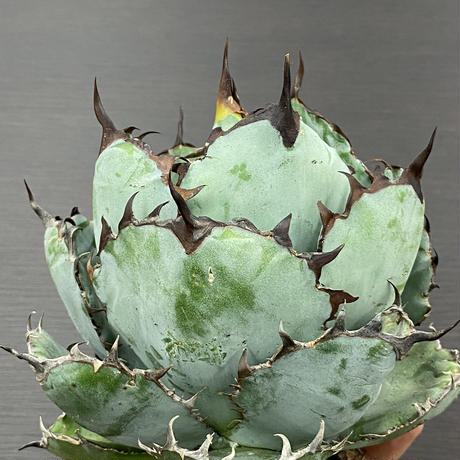 新着 良型 Agave titanota Black & Blue 2