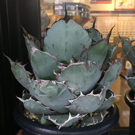 Agave titanota  Black and Blue⑥