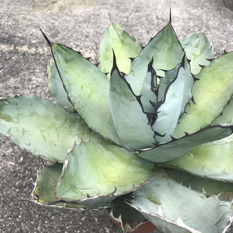 Agave titanota  Black and Blue②