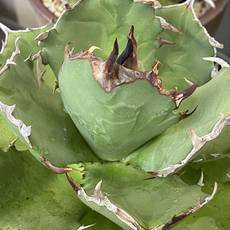 Agave titanota 寬葉嚴龍②