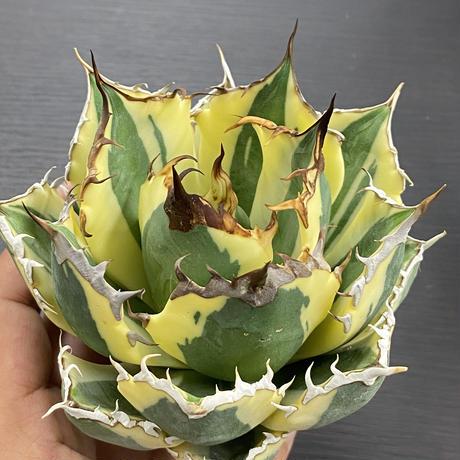 特選 Agave titanota snaggle tooth
