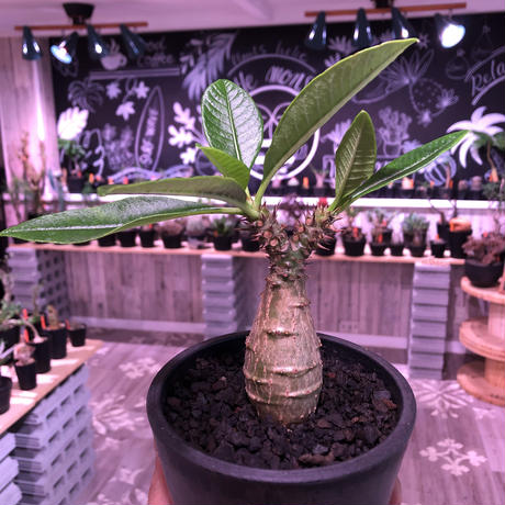 packypodium  windsori i× baronii  《S size》双方の良さが活きた将来有望美株‼︎  ※mad  black  pot植え