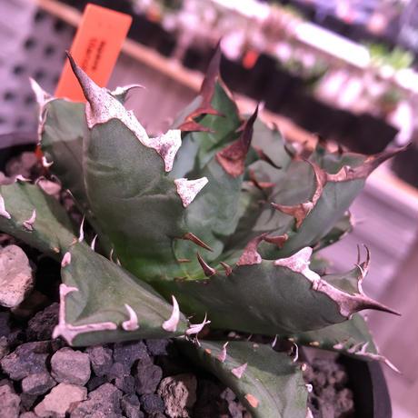 agave     titanota《M  size》Sよりのサイズ感で成熟株の装い   mad  black  pot植え