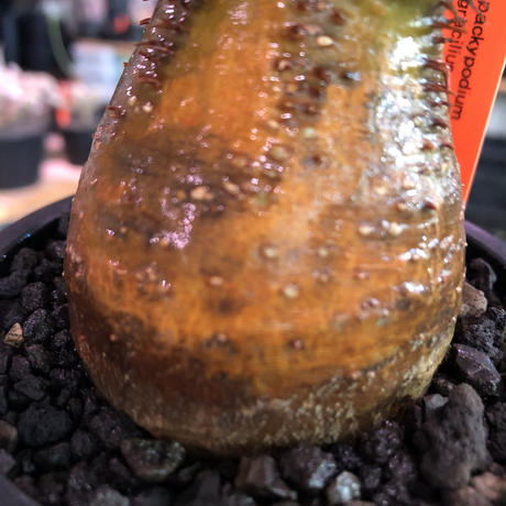 packypodium  gracilius《小さめM size》※現地球発根済株※店主国内管理3年株※希少green &赤肌のアシンメトリーカラーなwild株‼︎※mad black pot植え