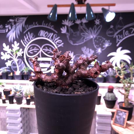 pelargonium  mirabile(S size)