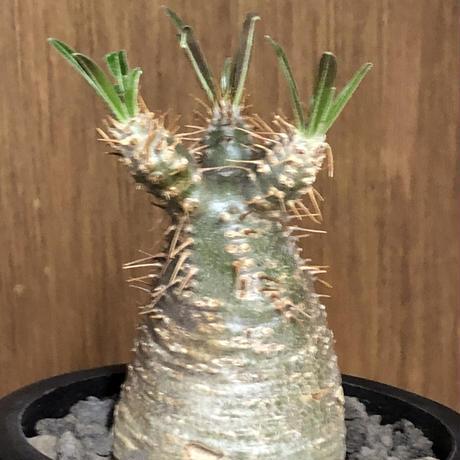 pachypodium gracilius《大きめS size》希少green肌※現地球発根後店主国内管理2年株※グリーン肌のかわいい手乗りグラキ※mad black pot植え