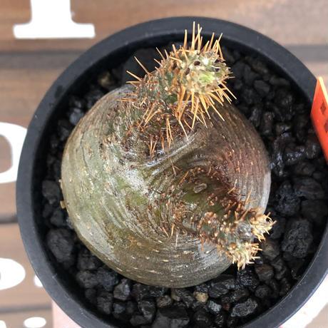 packypodium gracilius《大きめS size》希少‼︎ニ頭枝 &green肌※現地球発根済株※店主国内管理2年株※ぼってり樹形で捻くれた感が堪らない※mad black pot植え