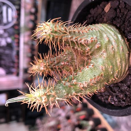packypodium gracilius《大きめS size》希少‼︎green肌※現地球発根済株※店主国内管理2年株※ボコボコ立体樹形でwild感強きgreen肌※mad black pot植え