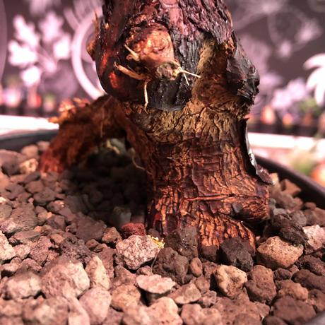 mestoklema   tuberosum《M  size》※今後当面輸入厳しい希少南アフリカ物‼︎表皮メクれ、エグれヤバき男前っぷり半端なき朽ちくwild株‼︎※mad black pot植え