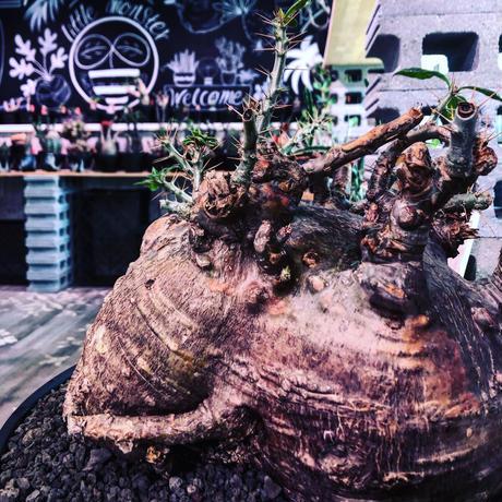 packypodium  saundersii《XL  size》現地球発根済株※店主国内管理6年株※big monster‼️年代物wild木質化驚愕株‼︎※mad black bowl pot植え