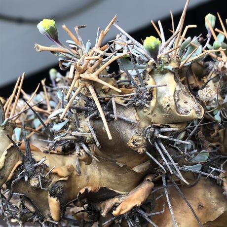 othonna  euphorbioides《L L size》※現地球発根後店主国内管理6年株※極太幹のどっしり構え&良枝振りvolume満点樹形※mad black pot植え