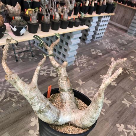 packypodium  cactipes《L L  size》※現地球発根済株‼︎※驚愕価格‼️※大変bigなカクチペス‼︎