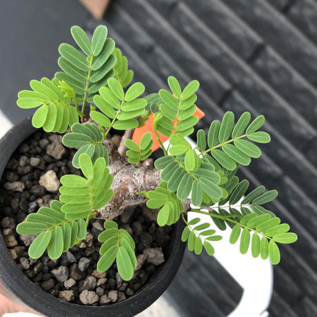 senna  meridionalis《 M size》※現地球発根後店主国内管理3年株※大変幹の色が濃く特化した肌質のセンナ‼︎強剪定繰り返した上品仕立て‼︎※mad black pot植え