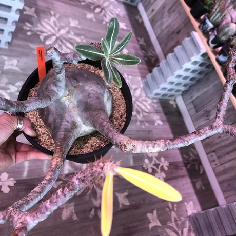 packypodium  gracilius《L L size》※現地球発根済み株‼︎ ※捻くれ枝がwildなでっぷりbigグラキ※令和二年記念‼︎リトモン驚愕株🤩No.④
