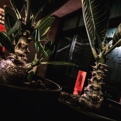 packypodium  windsorii    littmon   seed 🌱《S size》2年株‼︎
