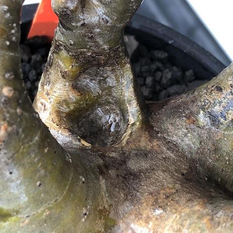 pachypodium gracilius《小さめL size》※現地球発根後店主国内管理3年株※極balance樹形&半端なき躍動する枝振りが堪らない※mad black bowl pot植え