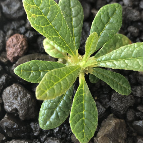 希少‼︎ dorstenia gigas《S size》littmon  seed🌱(実生株)※今季成長&枝振りに期待できる将来有望人気者ギガス※mad black pot植え