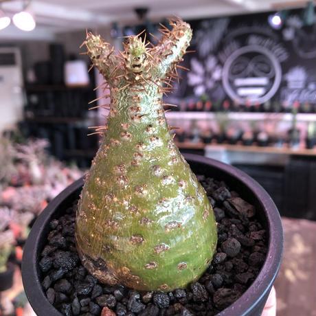 packypodium gracilius《大きめS size》希少‼︎green肌※現地球発根済株※店主国内管理2年株※株元ぼってりな美肌&良樹形グラキ※mad black pot植え
