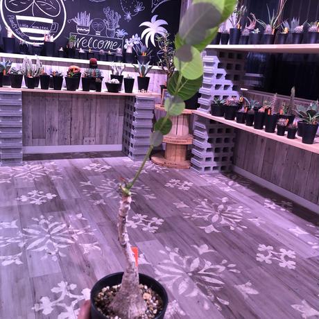 phyllanthus   mirabilis《M size》