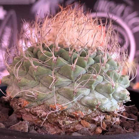 strombocactus 菊水《大きめL size》※希少‼︎現地球発根済株※実生菊水でなく希少高さ現地球株の上、更に大きく成長するtypeのbig菊水‼︎※mad black bowl pot植え