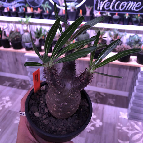 packypodium  gracilius 黒肌《M size》  現地球  発根済み株   mad black bowl pot植え