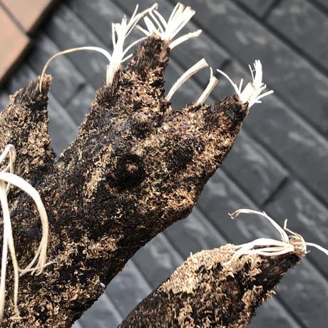 xerophyta  trichophylla《S size》※現地球発根後店主国内管理2年株※驚愕強靭株※枝振り良くweight低く堪らなくかわいい小振りサイズ※mad black pot植え