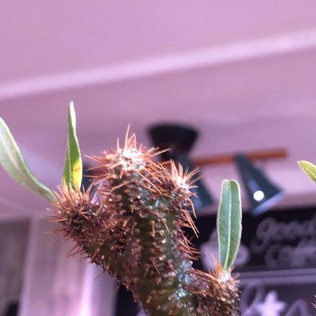 packypodium  gracilius《小さめM size》一部希少green肌※現地球発根済株※店主国内管理2年株※捻くれ枝を持つ不格好さがかわいい一株※mad black pot植え