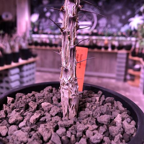 fouquieria  diguetii《M    size》再入荷お知らせ通知分※mad black pot植え