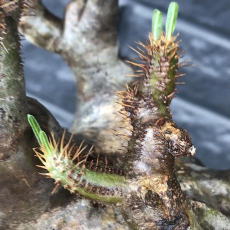 pachypodium gracilius《L size》※現地球発根後店主国内管理4年株※ぼってり偏平樹形にガクガク枝振りが堪らない一株‼︎※mad black bowl pot植え