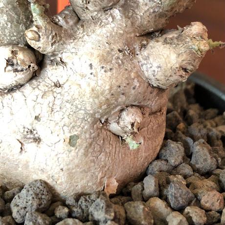 pterodiscus  luridus 《M  size》W-he'd株※株元はぼってりでっぷりと丸い白肌ニ分頭株‼︎店主激オススメ株‼︎※mad  black bowl  pot植え