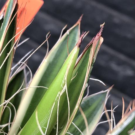 agave filifera ssp.schidigera班入り《M size》※現地球発根後店主国内管理2年株※大変美しくそして締まり良き一株‼︎※mad black bowl pot植え