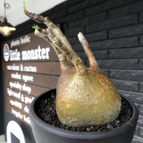 pachypodium gracilius《小さめL size》※現地球発根後店主国内管理2年株※愛くるしいぼってり良樹形な一株※mad black bowl pot植え