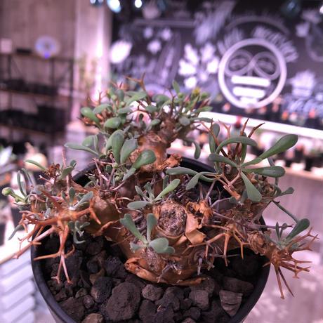 othonna   euphorbioides《M  size》大変良い枝ぶり株