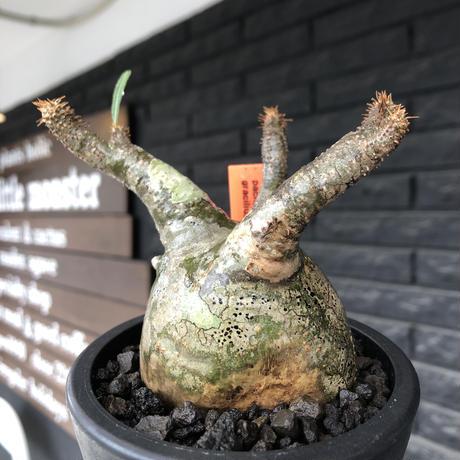 pachypodium gracilius《小さめM size》※希少‼︎green肌※現地球発根後店主国内管理3年株※絶妙な枝振り&樹形balance株※mad black pot植え