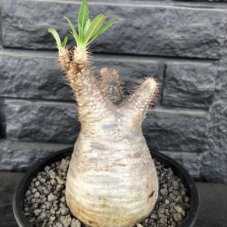 packypodium  gracilius まん丸《M size》  現地球  発根済み株   mad black pot植え