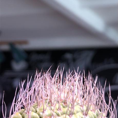 strombocactus 菊水《M size》希少‼︎現地球発根済株※店主国内管理8年株※激希少株の上、美しい樹形で堪らない良きサイズ感‼︎※mad black bowl pot植え